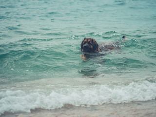 Big leonberger dog at the beach