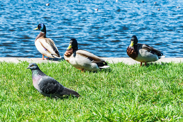 Colorful ducks and pigeon on the shore