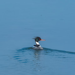 Red-breasted Merganser, beautiful diving duck