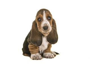 Adorable sad looking tricolor basset hound puppy sitting looking up isolated on a white background