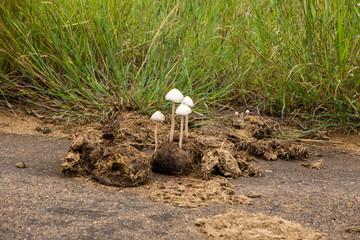 Elephants Poop Mushrooms