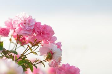 Foto op Plexiglas Azalea pink rose bush closeup on field background