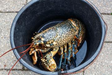 Homard breton vivant dans un seau après la pêche en Bretagne