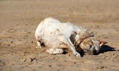 Sommer, Sonne, Hundestrand! blonder Labrador wälzt sich nach dem Bad im Meer genussvoll im Sand