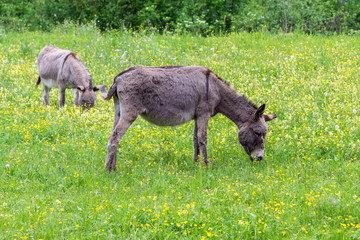 Donkeys on a meadow