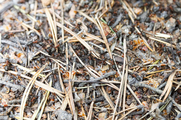 the texture of the forest ant