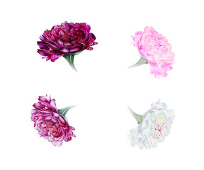 Watercolor set of peonies: white, purple, red, pink