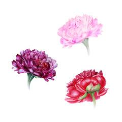Watercolor set of peonies: pink, purple, red