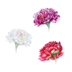 Watercolor set of peonies: white, purple, red