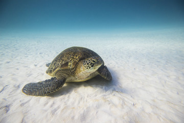 Turtle on the seabed, Lady Elliot Island, Great Barrier Reef, Queensland, Australia