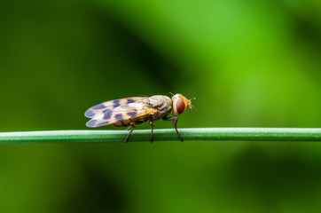 Exotic Drosophila Fruit Fly Diptera Insect on Green Grass