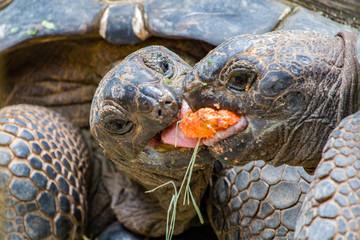 Giant Tortoises Feeding