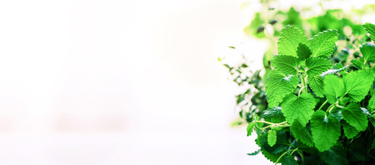 Green organic mint on light background, selective focus. Banner. Copy space. Mint leaves with sunny leaks, bokeh.