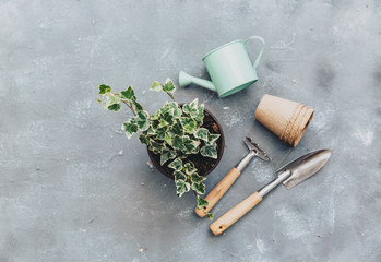 Ivy plant with gardening tools