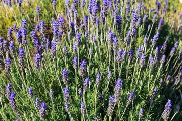 Wild blue lavender flowers