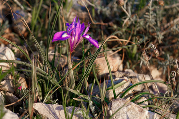 Beautiful small wild iris flower