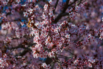 White flowers on a plum tree
