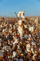 Close-up of cotton buds on bush
