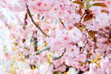 Summer garden. Blooming pink sakura flowers in spring.