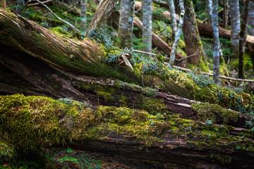 倒木に生える苔