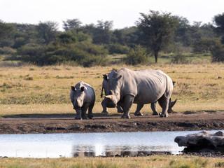 Southern White rhinoceros, Ceratotherium simum simum, at waterhole Botswana
