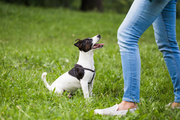 Cute dog Jack Russell Terrier looking and waiting for command  from his owner in the nature.