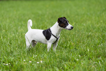 Portrait of  cute  dog Jack Russell Terrier  standing in the nature.