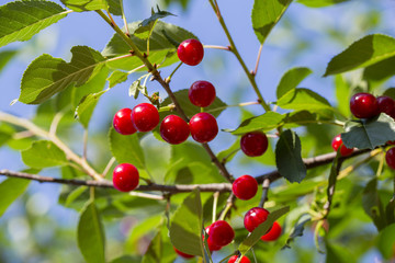 Sweet cherry red berries on a tree branch
