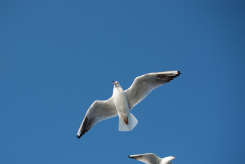 Seagull flying in blue a sky