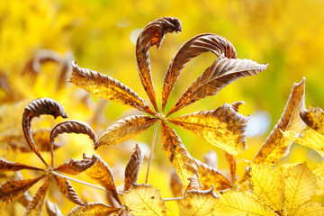 Beautiful chestnut leaves autumn park floral abstract colorful scene. Dried aging tree branch brown leaves on yellow background, sunny day light. soft focus, shallow depth of field.