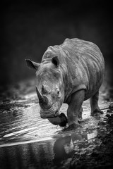 Rhinoceros portait with a slight front view angle monochrome black and white image