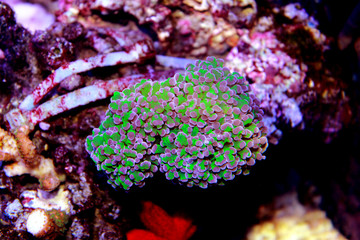 Euphyllia large polyps stony coral is one of the most live decoration in coral reef aquarium tanks
