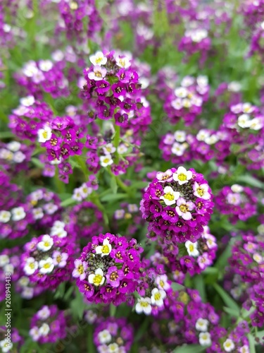 Round Buds Of Small Purple And White Flowers Stock Photo And