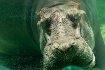 Hippopotamus (Hippopotamus amphibius) sleeping in the under water.