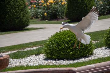 Single seagull in the rose garden