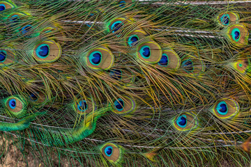 Colorful peacock feathers,Shallow Dof. peacock feathers pattern. Peacock tail details.
