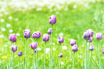 Beautiful tulips with green grass on background