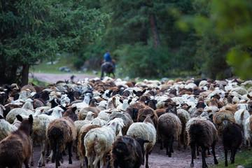 Shepherd and flock of sheep.