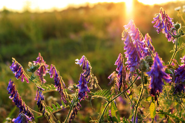 Sunny meadow with wildflowers at sunset. Soft light. Backdrop with copy space