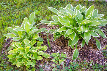 Collection of different hosta in the garden