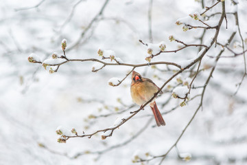 Puffed up angry fluffing funny one female red northern cardinal, Cardinalis, bird sitting perched on tree branch during heavy winter in Virginia, snow flakes falling