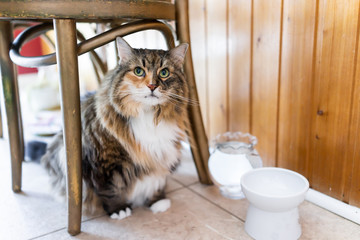Calico maine coon cat sitting hiding under chair large big eyes hungry facial expression funny in kitchen, water, empty white elevated raised bowl dish Wall mural