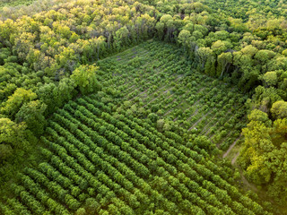 Wall Mural - Aerial view from the drone, a bird's eye view to the forest with green plantings of various ages and heights.