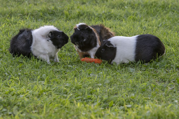 Guinea pigs eating a carrot