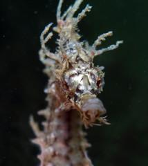 White's Seahorse Hippocampus whitei, White's Seepferdchen
