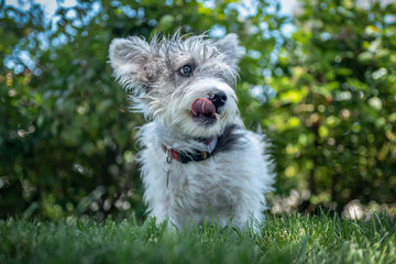 A young scruffy terrier dog mix with tongue out on a grassy lawn.