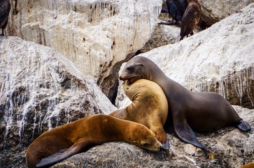 sea lions butting heads