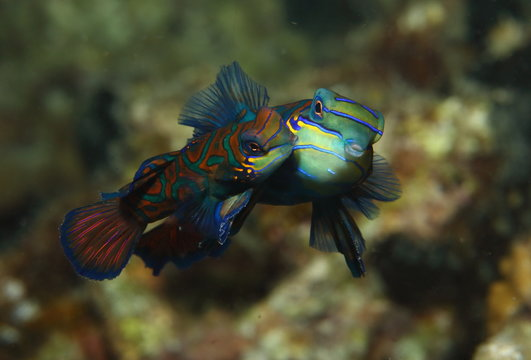 Mandarin Goby Fish Mating Kiss
