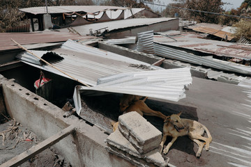 Dogs take shelter on top of a house at the area affected by the eruption of the Fuego volcano at San Miguel Los Lotes