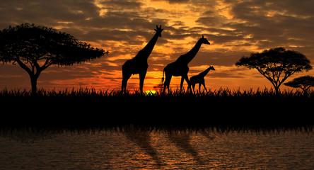 Giraffes on the river bank
